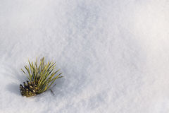 Pinecone in a snow as copyspace composition Royalty Free Stock Image