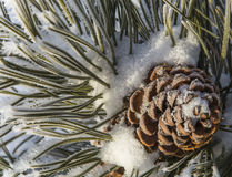 Pinecone in Snow Royalty Free Stock Photos