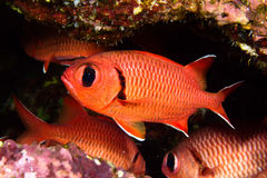 Pinecone soldierfish Royalty Free Stock Image