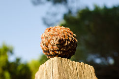 Pinecone sosna lub Obraz Royalty Free