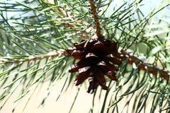 Pinecone strzelał w lesie w górę zdjęcia royalty free