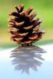 Pinecone su superficie riflettente brillante fotografie stock libere da diritti