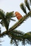 Pinecone sul ramo Fotografie Stock Libere da Diritti