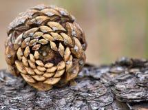 Pinecone symmetri Royaltyfri Bild
