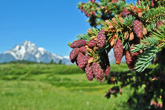 Pinecone Tetons Images stock