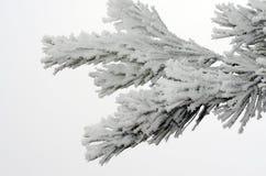 Pinecone tree on snow Stock Image