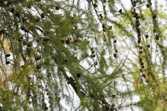 Pinecone in un pino durante l'autunno Fotografie Stock