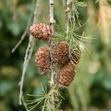 Pinecone in un pino durante l'autunno Immagini Stock Libere da Diritti