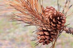 pinecone vicino bruciato degli aghi in su immagine stock