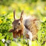pinecone wiewiórka Zdjęcia Stock
