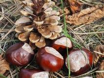 Pinecone y cinco frutas de la castaña puestos en las hojas secadas, otoño fotos de archivo libres de regalías