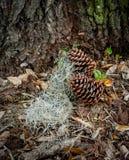 Pinecones με το ισπανικό βρύο στα φύλλα στοκ εικόνα