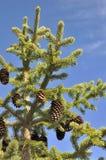 Pinecones в ели Стоковые Фото