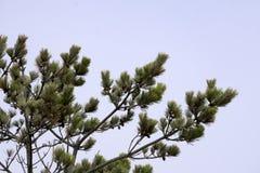 pinecones младенца Стоковая Фотография