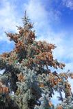 Pinecones на вечнозеленом дереве Стоковое Изображение