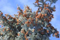 Pinecones на вечнозеленом дереве Стоковые Изображения RF