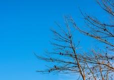 Pinecones на сини Стоковое Изображение RF