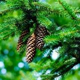 pinecones Стоковые Фотографии RF