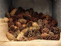 pinecones Стоковое фото RF