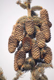 Pinecones Stock Image