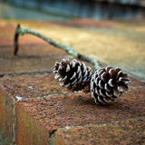 Pinecones Stockbilder