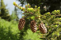 pinecones 3 Стоковое Фото