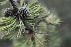 Pinecones Стоковое Фото