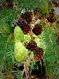 Pinecones Royalty-vrije Stock Afbeeldingen