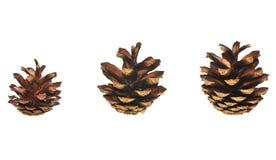 pinecones Стоковые Изображения