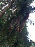 Pinecones Royaltyfri Fotografi