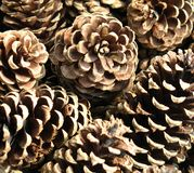 Pinecones photographie stock