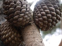 Pinecones attached to a branch with a blurred out background. royalty free stock image