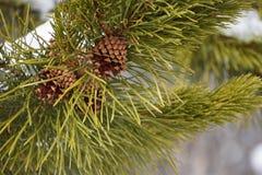 Pinecones auf einem Immergrün stockbilder