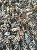 Pinecones bakgrund Arkivbilder