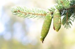 Pinecones cerrados verdes que cuelgan en árbol de pino con el copyspace Imagenes de archivo