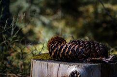 Pinecones. Closeup of pinecones in a forest in Finland Stock Photos