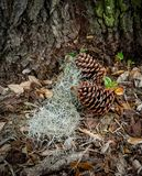 Pinecones con el musgo español en hojas imagen de archivo