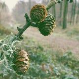 Pinecones dans la forêt Image libre de droits