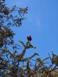 Pinecones de florecimiento Imágenes de archivo libres de regalías