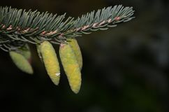 Pinecones del bebé que crecen en fondo de la oscuridad de la rama Foto de archivo libre de regalías
