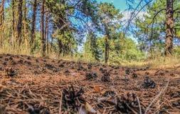 Pinecones en el bosque conífero fotos de archivo libres de regalías