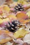 Pinecones en hojas de otoño hermosas Imagen de archivo