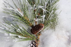 Pinecones et neige Photographie stock