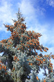 Pinecones on evergreen tree Stock Image
