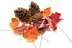 Pinecones and Fall Maple Leaves. Cluster of pinecones and fall maple leaves Stock Image