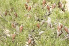 Pinecones in a garden of a city. Detail of lots of Pinecones in a garden of a city Royalty Free Stock Photo