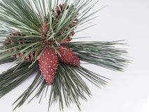 Pinecones. With greenery on white background Stock Image