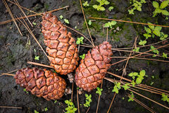 Pinecones on ground Royalty Free Stock Photography