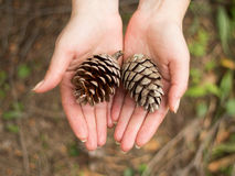 Pinecones. In hands - Fall background Royalty Free Stock Images