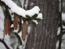 Pinecones hanging from a snow covered branch royalty free stock photos